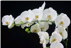 In Johannesburg, the main consideration is the winter temperature. The easiest orchids to grow here require temperatures of 12 to 28 degrees and cannot handle frost. Orchids will thrive in intermediate light, not heavy shadows. In winter they can handle more sun, not in summer. Place them on a north facing site.